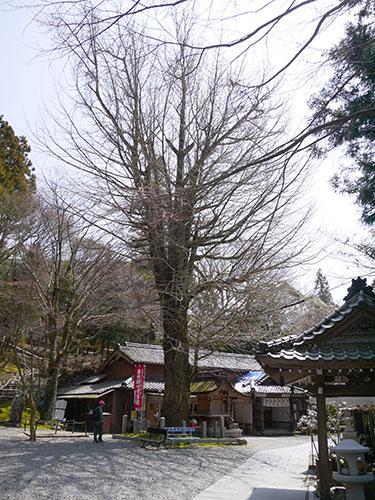 岩間寺 大銀杏