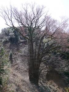 岩間寺 桂の大樹